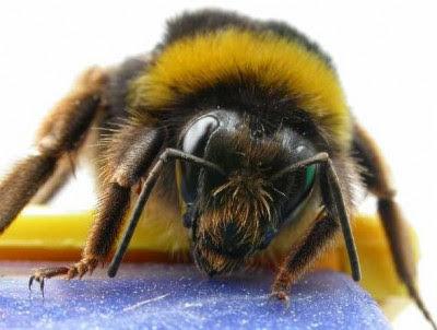 Resultado de imagen de invernadero abejorro araña